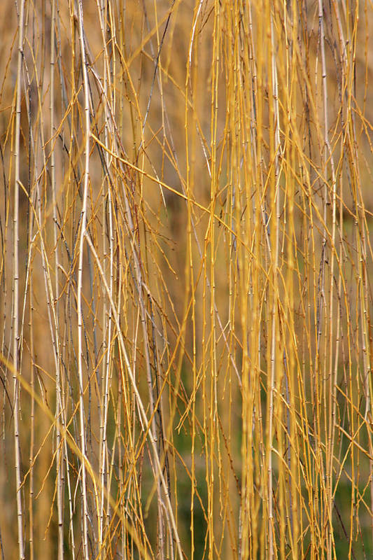 Art Print featuring the photograph Winter Willow by Melanie Rainey