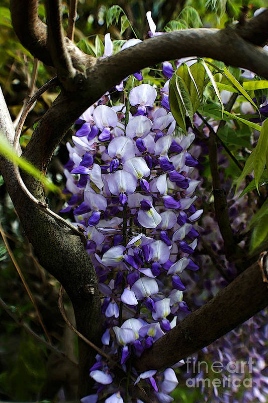 Wisteria Art Print featuring the photograph Wisteria Vine by Robin Lynne Schwind