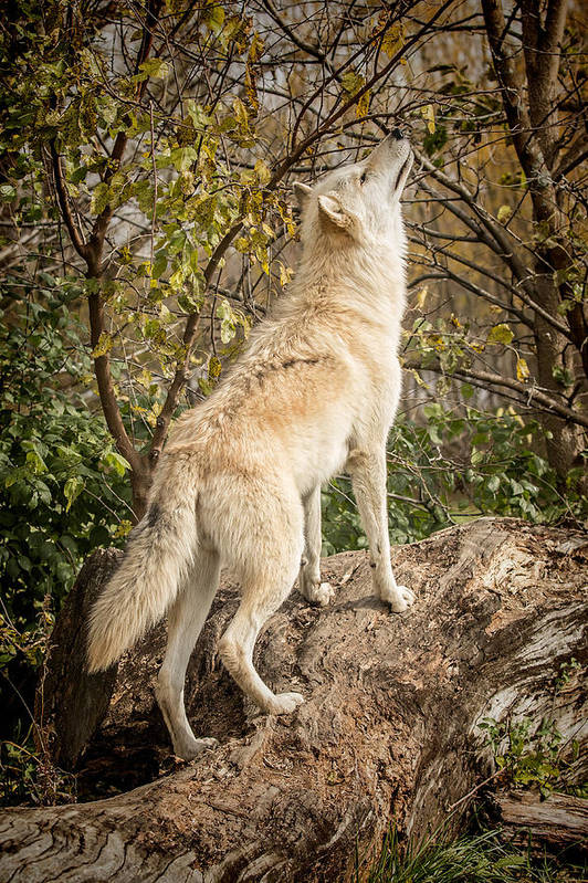 Grey Art Print featuring the photograph Wolf In The Woods by Pat Eisenberger
