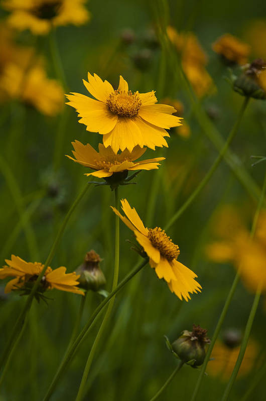 Flower Art Print featuring the photograph Yellow Flower by Chad Davis