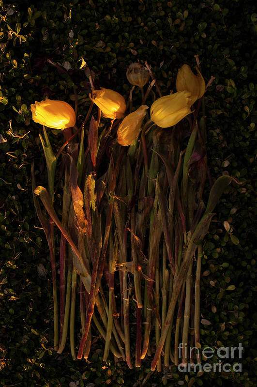 Tulips Art Print featuring the photograph Yellow Tulips Decaying At Sunset by Jim Corwin