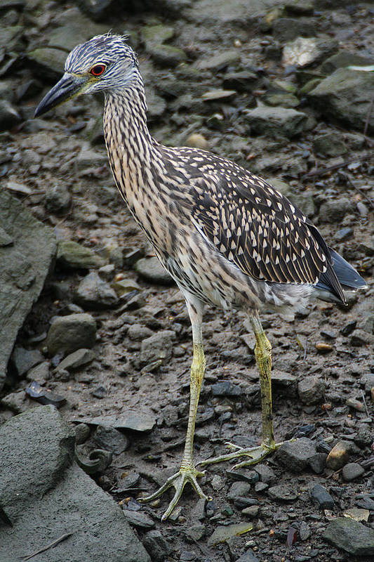 Wildlife Art Print featuring the photograph Young Night Heron by William Selander