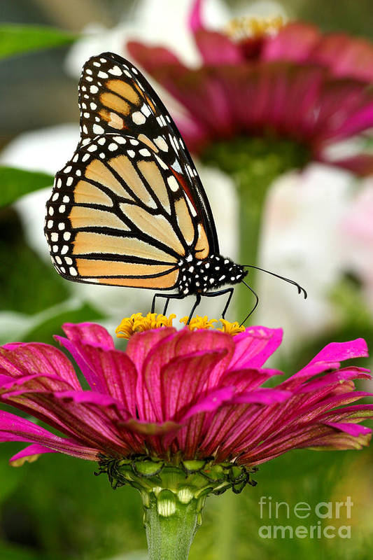 Monarch Art Print featuring the photograph Zinnia Rose And Monarch by Steve Augustin