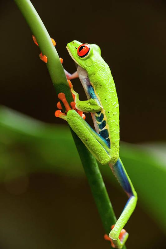 Red Eyed Tree Frog Costa Rica Art Print By Paul Souders