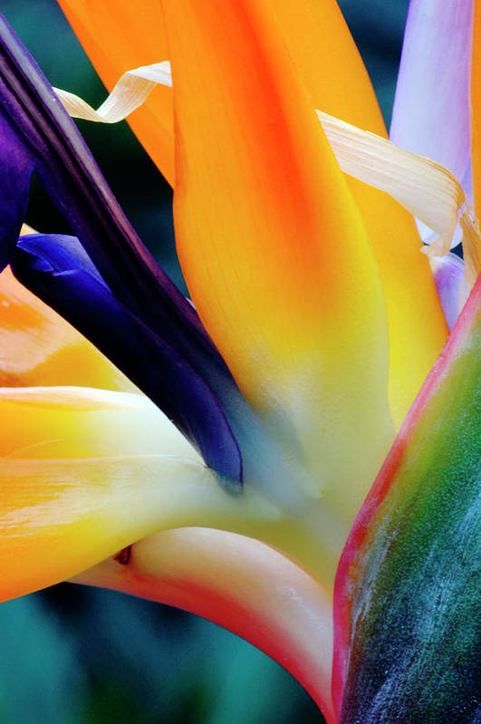 Banana Tree Art Print featuring the photograph A Close-up Of A Flower Of A Bird Of by Eromaze