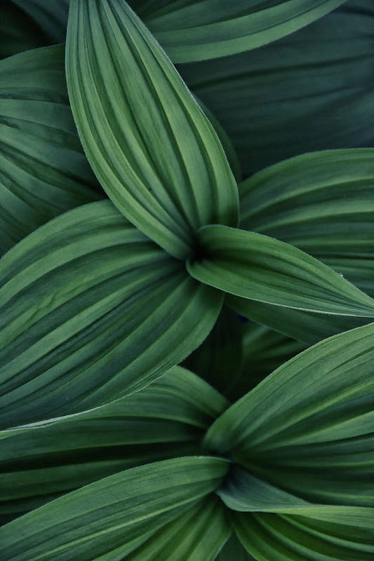 Nature Art Print featuring the photograph False Hellebore Plant Abstract by Nathan Bush