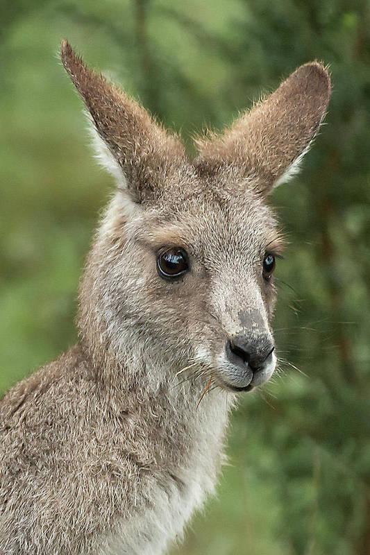Kangaroo Art Print featuring the photograph Kangaroo Up Close by Barry Kearney