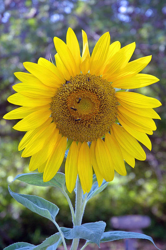 Sun .flower Art Print featuring the photograph Sunflower 1 by Mickie Boothroyd