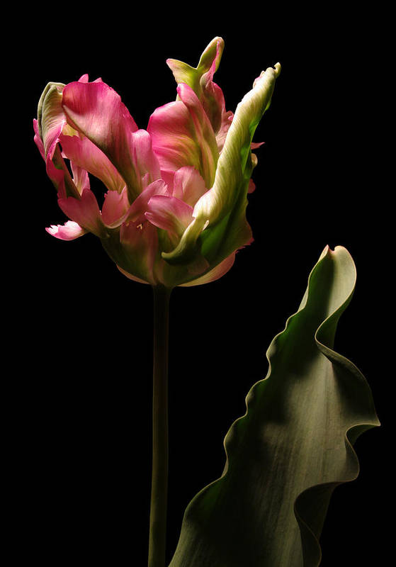 Tulip Art Print featuring the photograph Pink and Green Parrot Tulip by Vince Risner