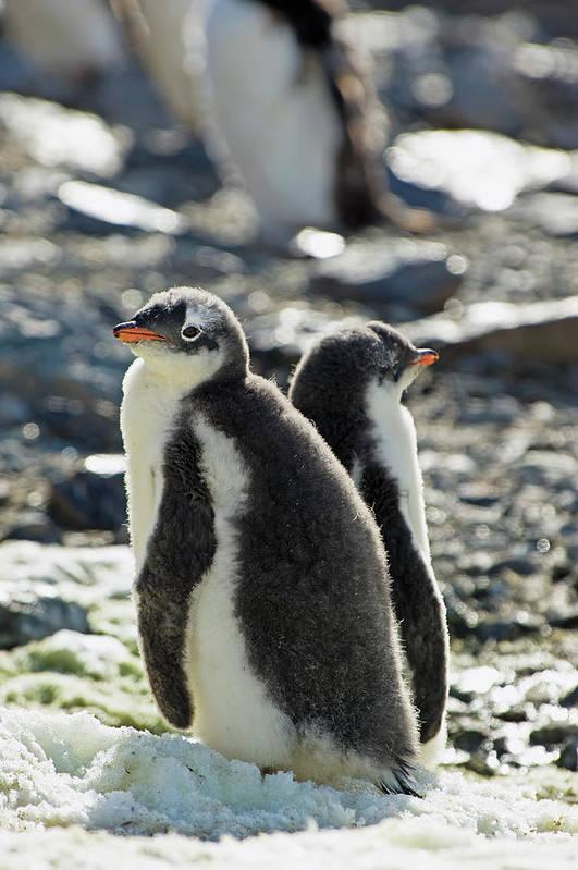 Alertness Art Print featuring the photograph Gentoo Penguins Pygoscelis Papua by Jim Julien / Design Pics