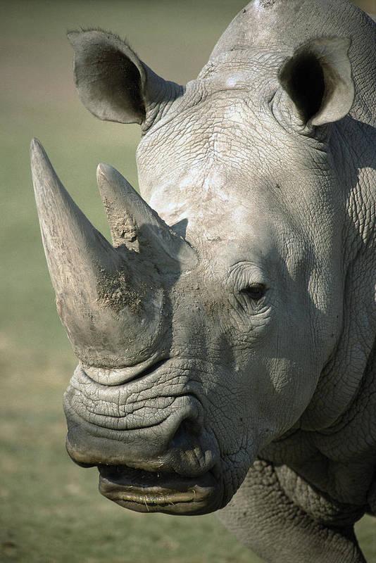 Feb0514 Art Print featuring the photograph White Rhinoceros Portrait by San Diego Zoo