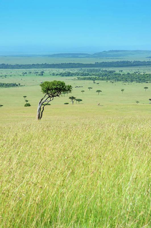 Scenics Art Print featuring the photograph Acacia In The Green Plains Of Masai Mara by Guenterguni