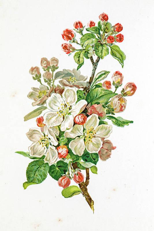 Cherry Art Print featuring the digital art Apple Blossom 19 Century Illustration by Mashuk