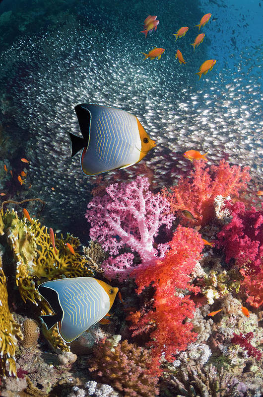 Tranquility Art Print featuring the photograph Butterflyfish Over Coral Reef by Georgette Douwma