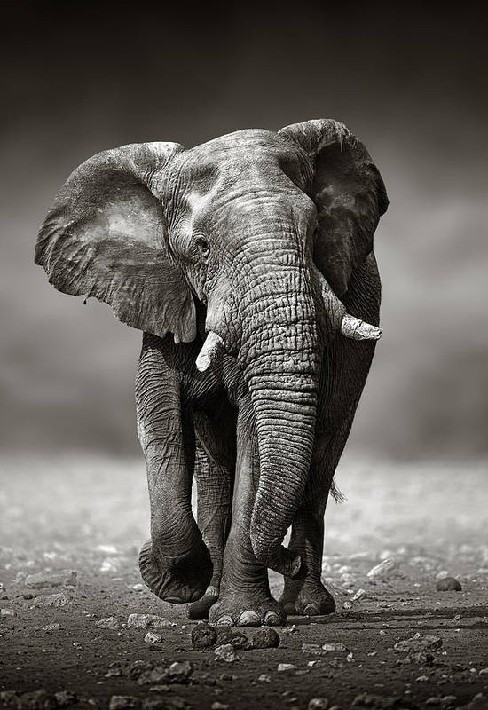 Elephant Art Print featuring the photograph Elephant approach from the front by Johan Swanepoel
