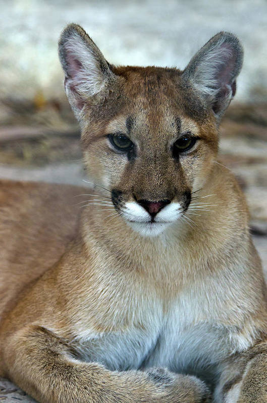 Animal Themes Art Print featuring the photograph Florida Panther, Endangered by Mark Newman