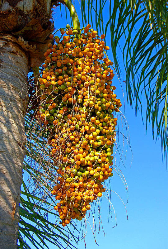 Palm Art Print featuring the photograph Fruit of The Queen Palm by Donna Proctor