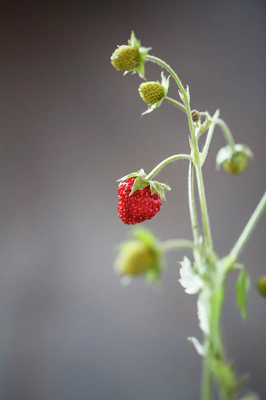 Wild Strawberry Art Print featuring the photograph Germany, Baden Wuerttemberg, Wild by Westend61