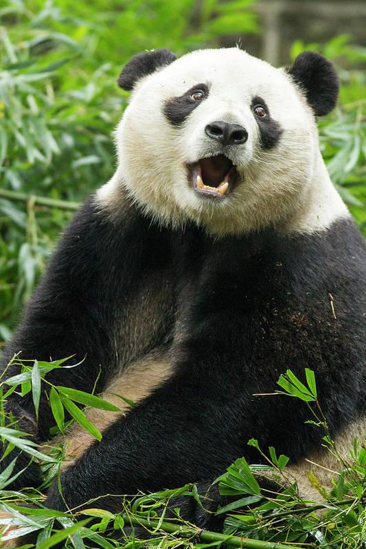 Panda Art Print featuring the photograph Giant Panda, Chengdu, China by Paul Souders