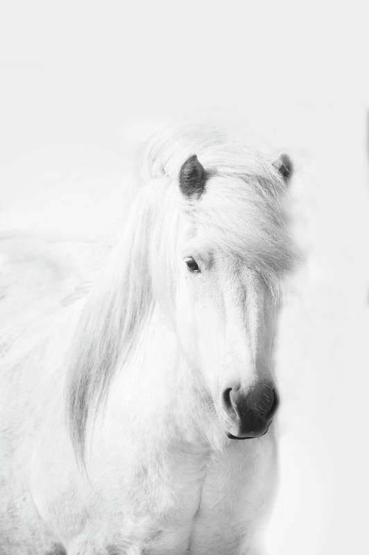 White Background Art Print featuring the photograph Icelandic Pony In White by Grant Faint