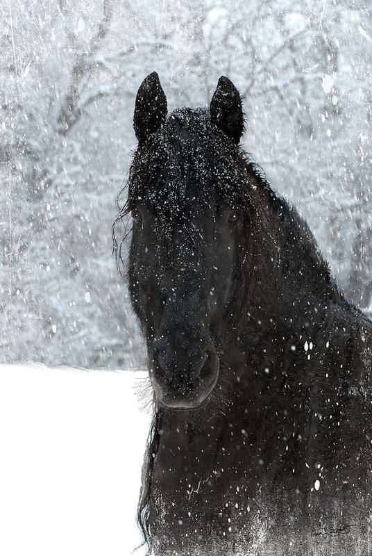 Friesian Horses Art Print featuring the photograph It's Friesian out here by Fran J Scott