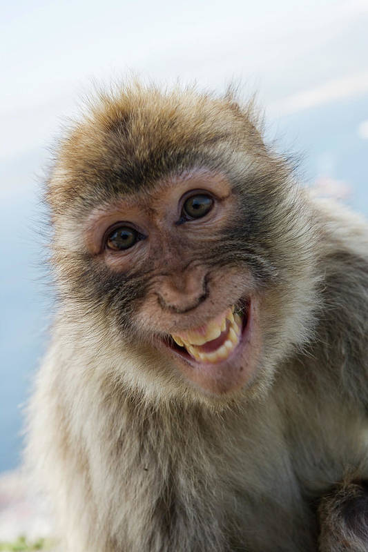 Alertness Art Print featuring the photograph Laughing Gibraltar Ape Barbary Macaque by Holger Leue