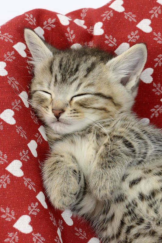 Tabby Art Print featuring the photograph Let Me Sleep by MGL Meiklejohn Graphics Licensing