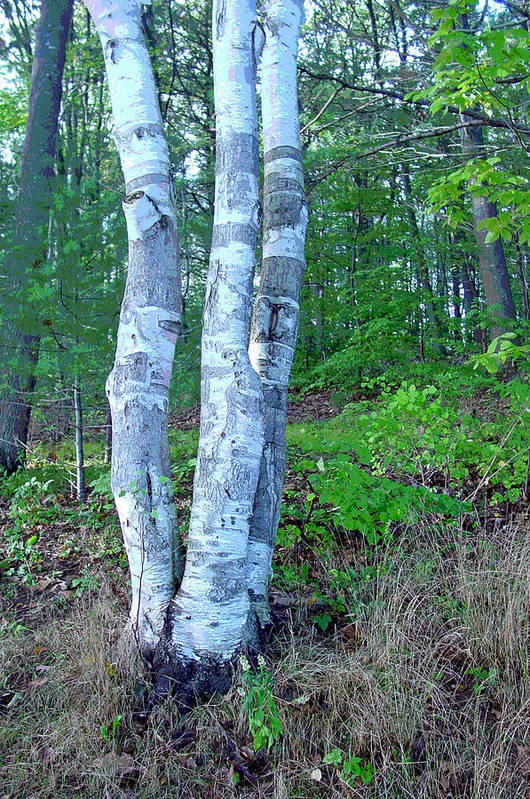 Birch Tree Art Print featuring the photograph Lone Birch in the Maine Woods by Suzanne Gaff