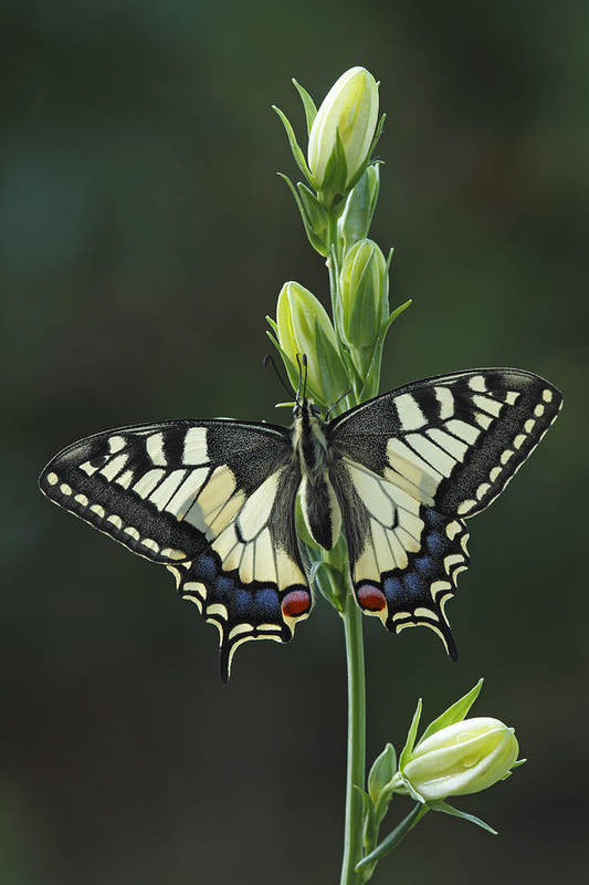 Silvia Reiche Art Print featuring the photograph Oldworld Swallowtail Butterfly by Silvia Reiche