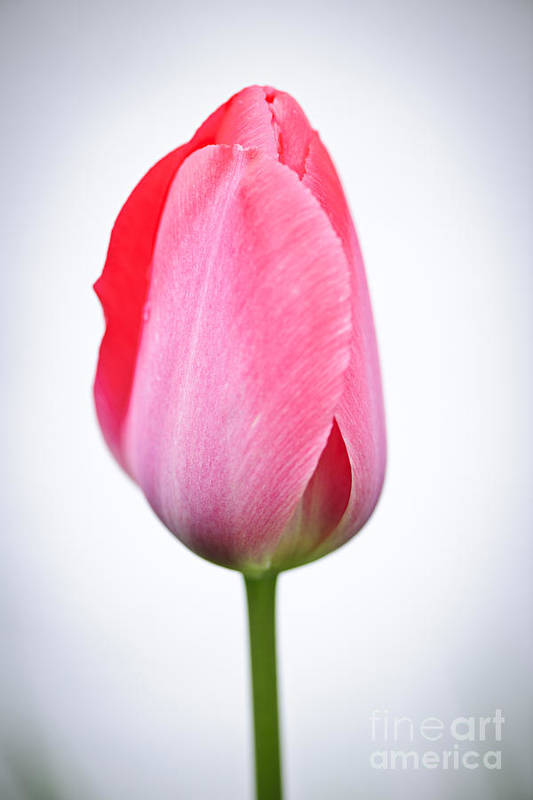 Tulip Art Print featuring the photograph Pink tulip by Elena Elisseeva