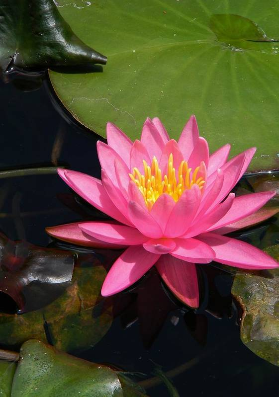 Pink Water Lily Art Print featuring the photograph Pink Water Lily by Warren Thompson