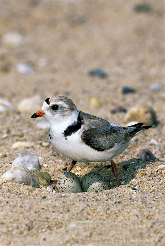 00220028 Art Print featuring the photograph Piping Plover Sitting on Eggs by Tom Vezo
