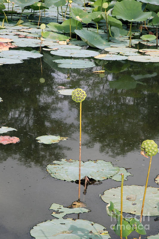 Lotus Art Print featuring the photograph Post Bloom by Amanda Barcon