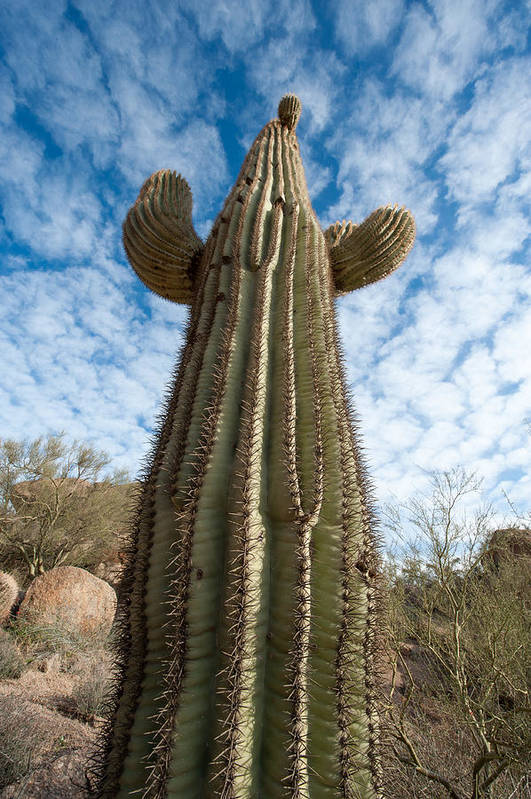 Cactus Art Print featuring the photograph Reaching For The Sky by Paul Johnson