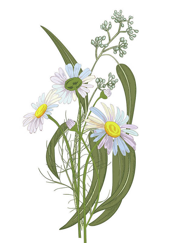 Engraving Art Print featuring the digital art Set Of Chamomile Daisy Bouquets White by Olga Ivanova