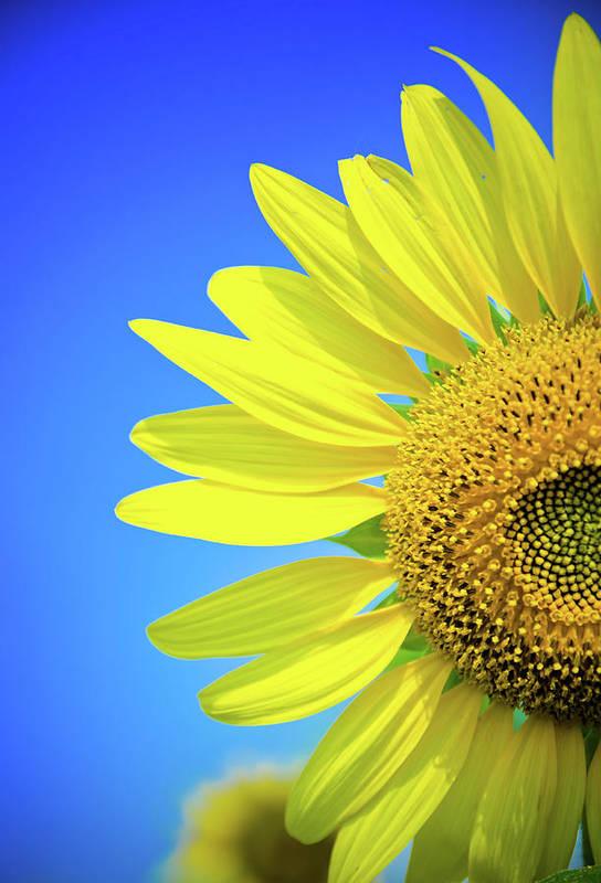 Clear Sky Art Print featuring the photograph Sunflower Against Blue Sky by N. Umnajwannaphan