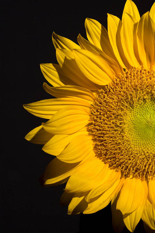 Sunflowers Art Print featuring the photograph Sunflower by Mark Ashkenazi