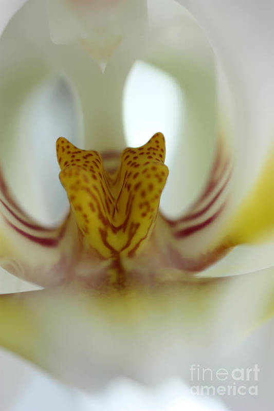 Tiger Orchid Art Print featuring the photograph Tiger Orchid by David Bearden