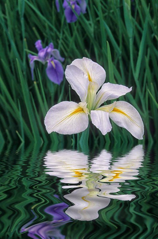 Flower Art Print featuring the photograph White Iris by Keith Gondron