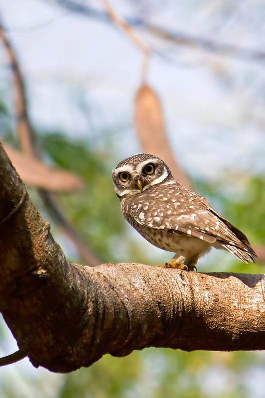 Vertical Art Print featuring the photograph Spotted Owlet by Amith Nag Photography