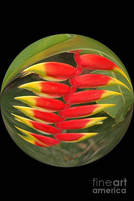 Digital Designs Art Print featuring the photograph Heleconia by Mark Gilman