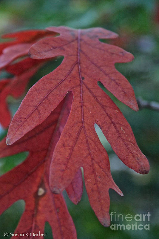 Outdoors Art Print featuring the photograph Red Oak Leaf by Susan Herber