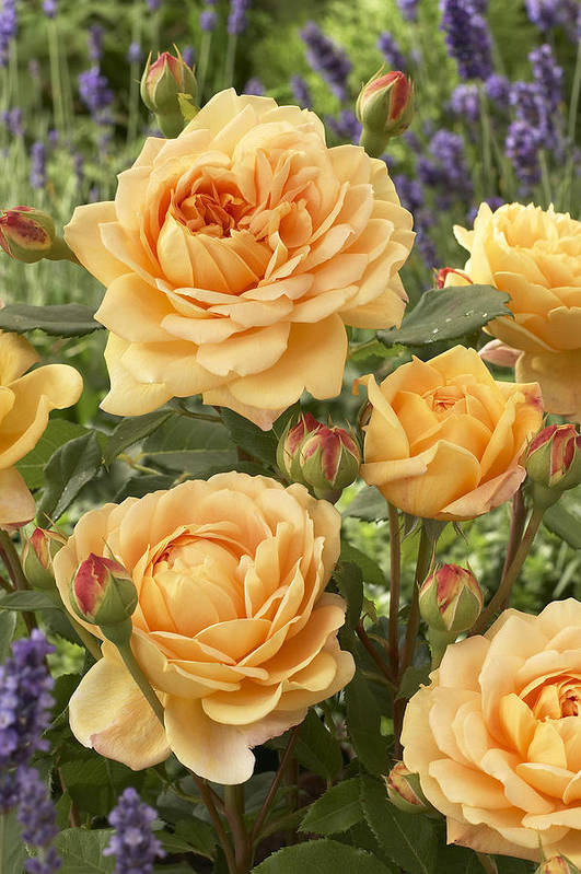 Vp Art Print featuring the photograph Rose Rosa Sp Golden Celebration Variety by VisionsPictures