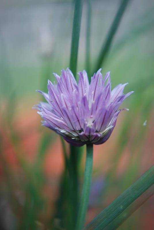 Flowers Art Print featuring the photograph Chive flower by Lisa Gabrius