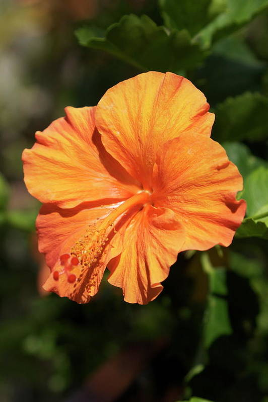 Orange Art Print featuring the photograph Orange Hibiscus by Eddie Freeman
