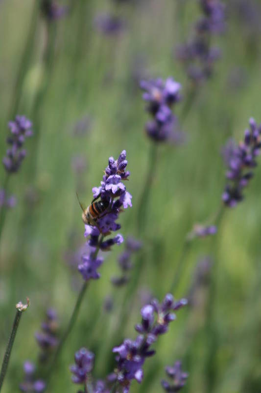 Deep Purple Lavender Art Print featuring the photograph Bee on Deep Purple Lavender Spike by Colleen Cornelius