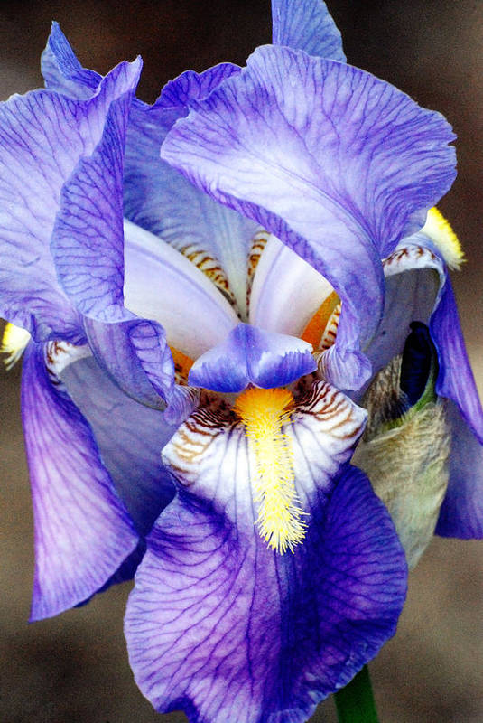 Iris Art Print featuring the photograph Blue Bearded Iris by Mark Wiley