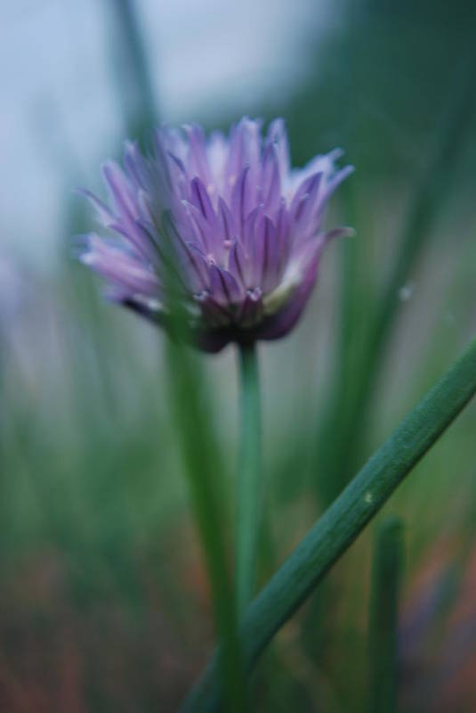 Nature Art Print featuring the photograph Chive Flower 2 by Lisa Gabrius