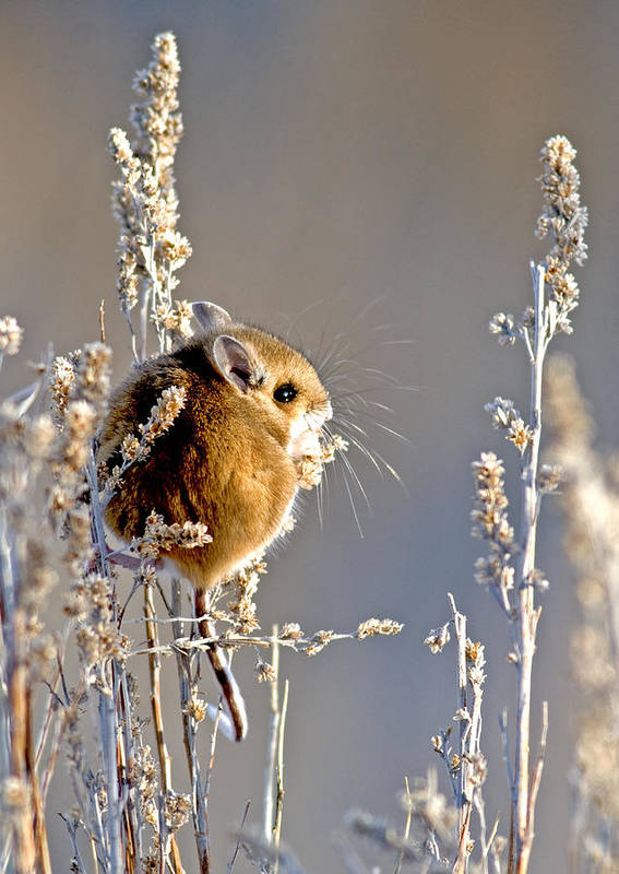 Mammal Art Print featuring the photograph Deer Mouse by Earl Nelson