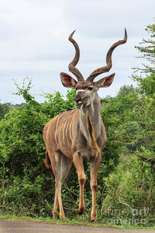 Wildlife Art Print featuring the photograph Kudu by Jennifer Ludlum